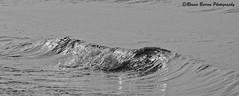 wave (RCB4J) Tags: art ayrshire ayrshirecoast babygrace dobermanterrier digitalphotography dog dogwalkadventures dogwalkingadventures dogwalkingphotography dogs beach firthofclyde gailes happydog jakob irvinebeach morning on1 on1pics on1photoraw2019 rcb4j ronniebarron sand running sea scotland sony sony18250mmf3563dtaf sonyalpha sonyslta77v sunlight sunshine trailhound trailie monochrome blackandwhite wave seawater shorebreak