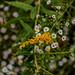Autumn goldenrod & oxeye daisies (01)