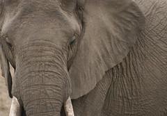 Elephant Portrait (DeniseKImages) Tags: wildlife africa wild elephant nature animal animals southafrica grey wildanimal elephants wrinkles tusks tusk bigfive wildanimals