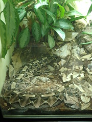 10/11/19 - Cincinnati Zoo: Gaboon Viper (mavra_chang) Tags: animals snakes vipers africanadders gaboonvipers