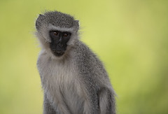 Vervet Monkey (Ronnie798) Tags: vervet monkey wildlife wild wildanimal animal green grey nikon animals portrait africa southafrica