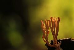 Artomyces pyxidatus 6608 (Henrik Gyurkovics) Tags: bestofnature artomycespyxidatus artomyces pyxidatus fungí fungus crowncoral crowncoralfungus macro bokeh sándorfalva hungary