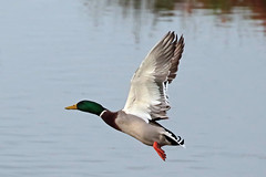 mallard duck (DODO 1959) Tags: wildlife mallardduck avian animal outdoor nature fauna flight water duck drake carmarthenshire wales llanelli wwt canon 100400mmmk2 7dmk2