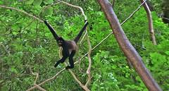 MEXICO, Yukatan , Chiapas ,  Gibbons im Sumidero Canyon,  (ausgesetzt) 19337/12019 (roba66) Tags: urlaub reisen travel explore voyages rundreise visit tourism roba66 landschaft landscape paisaje nature natur naturalezza mexiko mexico mécico méjico nordamerika northamerica zentralamerika yukatanhalbinsel rundreise2017 yucatán chiapas fauna flora affe primate baboon monkey ape apes monkys gibbon