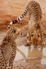 Keeping Watch Over a Friend (DeniseKImages) Tags: wildlife africa cat cheetah cheetahs spot spots southafrica nature wild animal animals wildanimals wildanimal drinkinghole wateringhole