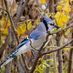 Blue Jay (mahar15) Tags: bluejay bird nature wildlife october jay
