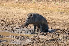 Sus scrofa ssp. cristatus (Indian Boar) male - Suidae - Yala National Park, Southern Province, Sri Lanka-2 (Nature21290) Tags: april2019 indianboar mammalia southernprovince srilanka2019 suidae susscrofa susscrofasspcristatus yalanationalpark