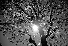 LIGHTED NATURE (photographer_1971) Tags: blackandwhite blancoynegro bw monochromatic photography photographer tree sunlight leaves luzysombra light landscape nature outdoor backlighting