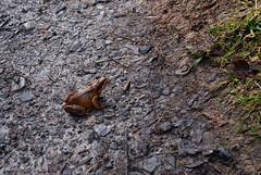 frog2 (lozinka_gergova) Tags: