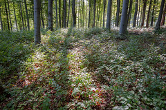 Lights of the Forest (BenedekM) Tags: nikon nikond3200 d3200 nagybörzsöny borszony hungary magyarorszag nogradmegye nograd roads hiking forest woods erdo hungarianforest trees leaves fallen september2019 2019 sigma sigma1750f28 nature rocks mountains hills shadow lights bush moss
