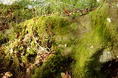 moss (lozinka_gergova) Tags: moss forest forestlife rogiefalls sco scotland scenery nature naturephotography nikonlens nikon nikon50mm nikonphotography nikond610 photography amateurophotography