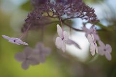 Le manège enchanté *---- ° (Titole) Tags: hortensia hydrangea titole nicolefaton shallowdof abstract friendlychallenges perpetualchallenge