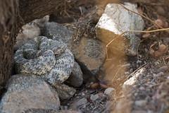 Speckled Rattlesnake (DevinBergquist) Tags: speckledrattlesnake rattlesnake crotalus crotaluspyrrhus herping fieldherping wildlife nature arizona az insitu