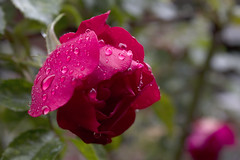 20191013 Raindrops on roses (an_extract_of_reflection) Tags: rose flower red rain raindrops nature garden macro