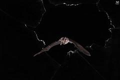 Morcego-de-ferradura-grande, Greater horseshoe bat (Rhinolopus ferrumequinum) (Nuno Xavier Moreira) Tags: morcegodeferraduragrande greaterhorseshoebatrhinolopusferrumequinumemliberdadewildlifenunoxavierlopesmoreirangc animals animais nature natureza selvagem pics wildlife wildnature wild photographer portugal ao ar livre ngc nuno xavier moreira nunoxaviermoreira liberdade national geographic mamiferos mammals all xpress us rhinolophusferrumequinum greaterhorseshoebat