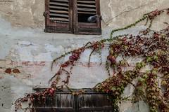 Alla finestra, a mirar l'autunno (BORGHY52) Tags: piccione autunno faullage ottobre finestra edera