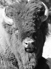 And I see you... (Alex Borst) Tags: amerika america usa wyoming yellowstone national park buffalo bison buffel bizon zwart wit zwartwit monochrome black white blackwhite bw allesisrelatief