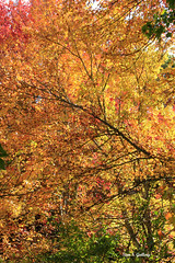 Autumn Foliage 2019 - 3 (Stan S. Gallery) Tags: fall fallcolors foliage trees leaves colors branches limbs nature october sunlight forest woods seasonal canonrebel outdoors