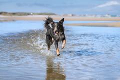 Fun with ball (The Papa'razzi of dogs) Tags: animal beach bordercollie fetch frisbee outdoor ball dog fun hund nature pet sea water hanstholm northdenmarkregion denmark