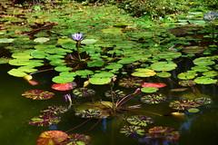 Water Lily Pond (vguzman1120) Tags: pond waterlily vizcaya