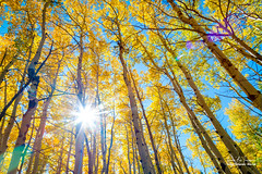 Autumn Sunshine (Striking Photography by Bo Insogna) Tags: sunshine sun glare autumn fallfoliage aspenforest golden yellow bluesky tall trees birch colorful wilderness forest travel colorado coloradonaturelandscapes jamesinsogna paradise rockymountains sonya7rll a7rll a7rii