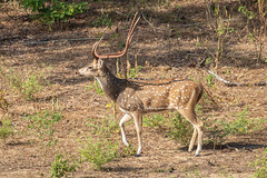Axis axis (Chital Deer) male - Cervidae - Yala National Park, Southern Province, Sri Lanka (Nature21290) Tags: april2019 artiodactyla axis axisaxis cervidae chitaldeer mammalia southernprovince srilanka2019 yalanationalpark
