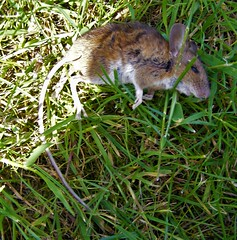 Last squeak (leedslily) Tags: mouse garden animal dead grass rodent tail