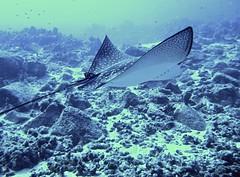 Ocellated eagle ray (Aetobatus ocellatus) (Kumukulanui) Tags: ray elasmobranch fish reef coral honokohau hawaii kona kailuakona bigisland