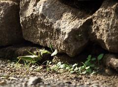 Sautera-t-elle ? (Tonton Gilles) Tags: sauterelle photo rapprochée proxiphotographe proxiphoto mur de pierre abri plantes trèfles macro yeux insecte