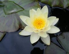 Waterlily (leedslily) Tags: flower plant garden leaf petal roundhay waterlily pond water
