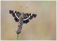 Map - Araschnia levana. (nigel kiteley2011) Tags: map butterfly butterflies macro lepidoptera nature insects wildlife canon 5dmk3 sigma180mm