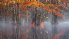 Color Wings (D Breezy - davidthompsonphotography.com) Tags: fall fallcolors autumn autumncolors trees foggy fog mist mood moody atmosphere reflections light glow dramatic landscape landscapephotography nikon d850 nikond850 swamps swampscape