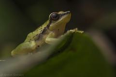 Pristimantis acuminatus (antonsrkn) Tags: pristimantisacuminatus frog robberfrog nature wildlife wild wilderness ecuador riobigal amphibian herp herping herpetology macro