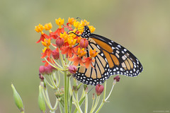 Butterfly 2019-155 (michaelramsdell1967) Tags: butterfly butterflies animal animals insect insects monarch monarchs milkweed orange red black white flowers wildlife beauty beautiful bokeh pretty upclose closeup lovely wings vivid vibrant bug bugs meadow garden zen