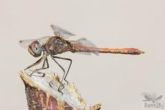 Desert Darter - Sympetrum sinaiticum (Dumont, 1977) ( BlezSP) Tags: desertdarter sympetrum sinaiticum madrid spain odonata iberian dragonfly libelula anisoptera libellulidae