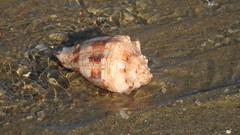 Barra Grande - Seashell (sileneandrade10) Tags: sileneandrade amanhecer bgk barragrande concha mar praia areia nikoncoolpixp1000 nikoncorporationcoolpixp1000 nikon seashell shell conchadomar
