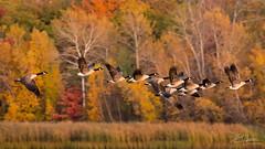 Fall colours and feathers (LASCAR35) Tags: 100400 is ii l bernacheducanada canadagoose quebecoiseaux réservoirbeaudet quebecnature quebecsauvage 6d canon dslr victoriaville bird