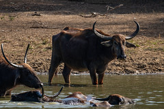 Bubalus sp. (Water Buffalo) - Bovidae - Yala National Park, Southern Province, Sri Lanka (Nature21290) Tags: april2019 bovidae bubalus mammalia southernprovince srilanka2019 yalanationalpark