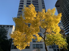Autumn Blooming On Maitland (awl61) Tags: autumn outside tree light colour yellow leaves branches maitlandst downtown toronto