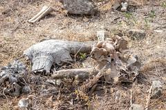 Leopard kill - Bubalus sp. (Water Buffalo) - Bovidae - Yala National Park, Southern Province, Sri Lanka (Nature21290) Tags: april2019 bovidae bubalus mammalia southernprovince srilanka2019 yalanationalpark