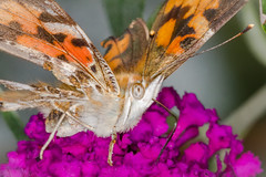 Last of the Ladies (tresed47) Tags: 2019 201909sep 20190929homemacro butterflies canon7d chestercounty content folder insects macro paintedlady pennsylvania peterscamera petersphotos places season september summer takenby technical us