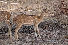 Axis axis (Chital Deer) juvenile - Cervidae - Yala National Park, Southern Province, Sri Lanka (Nature21290) Tags: april2019 artiodactyla axis axisaxis cervidae chitaldeer mammalia southernprovince srilanka2019 ungulate yalanationalpark