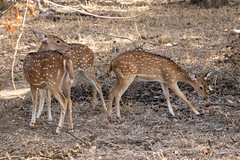 Axis axis (Chital Deer) females and juvenile - Cervidae - Yala National Park, Southern Province, Sri Lanka (Nature21290) Tags: april2019 artiodactyla axis axisaxis cervidae chitaldeer mammalia southernprovince srilanka2019 ungulate yalanationalpark