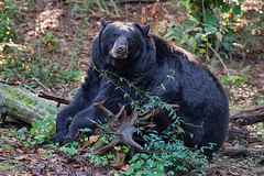 Patiently waiting for the weekend (ucumari photography) Tags: ucumariphotography animal mammal nc north carolina zoo october 2019 black bear oso ursusamericanus dsc0541 specanimal