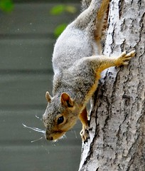 Squirrel (EcoSnake) Tags: squirrels easternfoxsquirrel wildlife october climbing fall idahofishandgame naturecenter