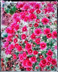 Chrysanthemums Abstracted | These are in Donna's Front Yard Garden | Brightened From their Original Color to a Bright Red. (steveartist) Tags: chrysanthemums snapseed sonydschx80 photostevefrenkel photomanipulation postshotediting flowers