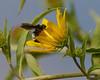 American Bumblebee - 1- 1