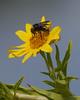 American Bumblebee - 1- 2