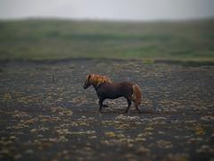 Always on the run (Alliat) Tags: animal horse fog tilt shift grass green moss black sand ash pony icelandic iceland run gallop tölt mane melrakkaslétta