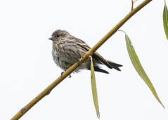 They're back (nickinthegarden) Tags: pinesisken milllakepark abbotsfordbccanada